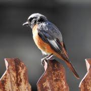Gekraagde Roodstaart vogeltours traveldash